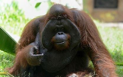 Giornata internazionale dell'orango, una specie a rischio estinzione