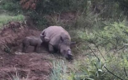 Sudafrica, baby rinoceronte piange madre uccisa da bracconieri. VIDEO