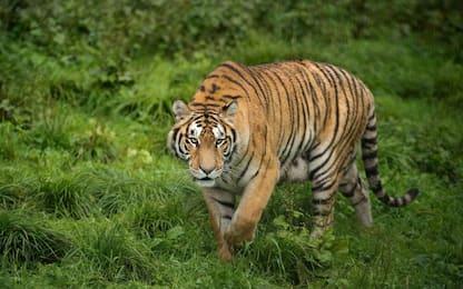 Giornata fauna selvatica, da tigri a leoni: a rischio i grandi felini