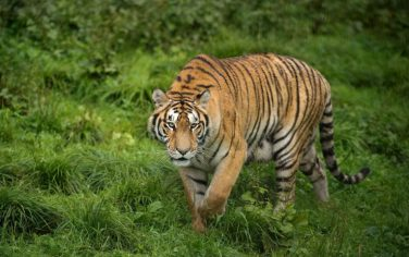 GettyImages-Tigre