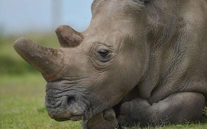 Rinoceronte bianco del Nord, nuova speranza per salvaguardare specie
