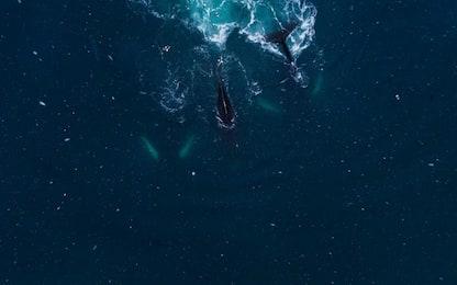 Antartide, la pesca intensiva al krill toglie cibo a pinguini e balene