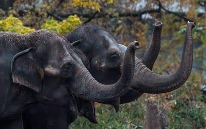 È la Giornata Mondiale dell'elefante, in Africa solo 415mila esemplari