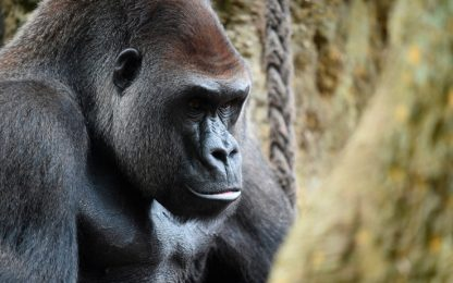 I gorilla sono pronti a rischiare la vita per un po' di cibo salato