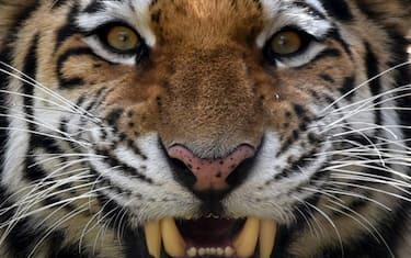 tigre_getty