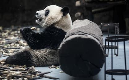 Coronavirus Canada: manca bambù, zoo Calgary rimanda in Cina due panda
