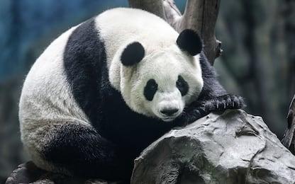 Il centro ricerca sui panda in Cina
