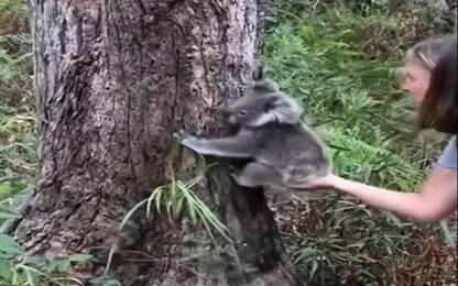 Australia, i primi passi di libertà dei piccoli koala rimasti orfani
