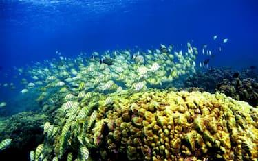 GettyImages-barriera_corallina_hawaii