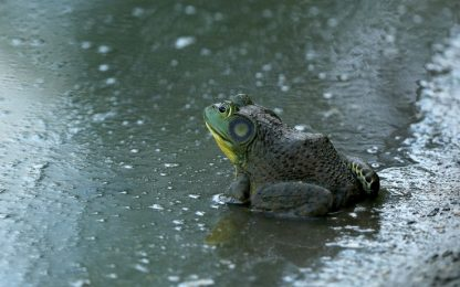 La rana Romeo trova la sua Giulietta grazie a un sito di incontri