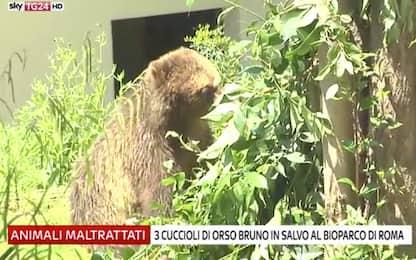 La nuova casa di tre cuccioli di orso bruno al Bioparco di Roma