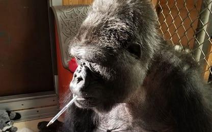 Morto a 46 anni Koko, il gorilla che conosceva la lingua dei segni