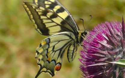 Dal geranio alla genziana, i fiori e le piante che attirano farfalle