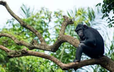 GettyImages-Scimpanze