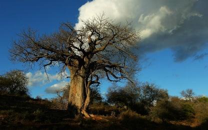 Sudafrica, 9 dei 13 Baobab più antichi sono misteriosamente morti
