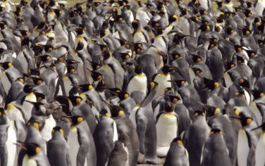 GettyImages-pinguini