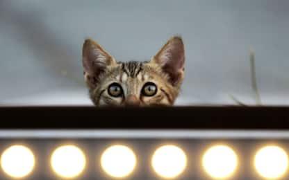 I gatti riconoscono il proprio nome: lo conferma uno studio