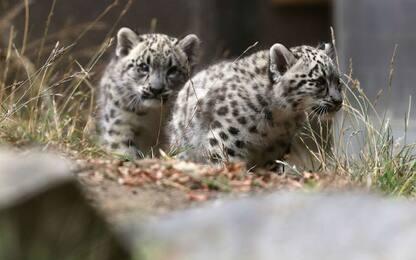Leopardo delle nevi a San Francisco