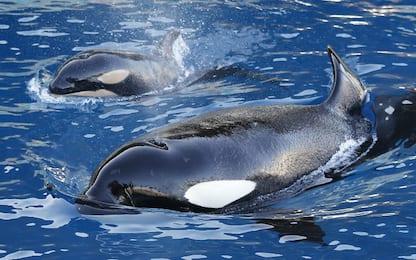 Le nonne di orca assassina in menopausa aiutano nipoti a sopravvivere