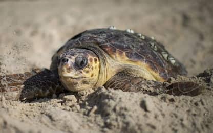 Sorpresa a Erice, spuntano 10 tartarughe Caretta Caretta in spiaggia