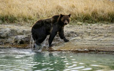 GettyImages-Grizzly