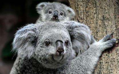"""Australia, koala """"funzionalmente estinti"""": ne restano solo 80 mila"""