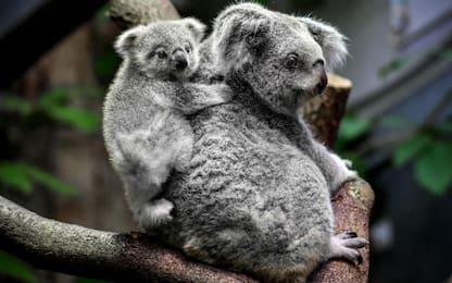 Germania, la piccola koala