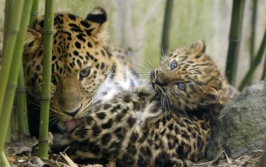GettyImages-Amur_Leopards