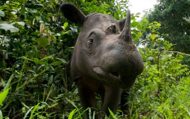 RinocerontediSumatra_Wwfi_Italia