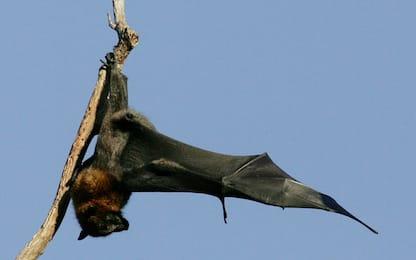 Coronavirus, due virus cugini trovati in pipistrelli fuori dalla Cina