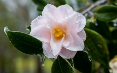 GettyImages-camelia