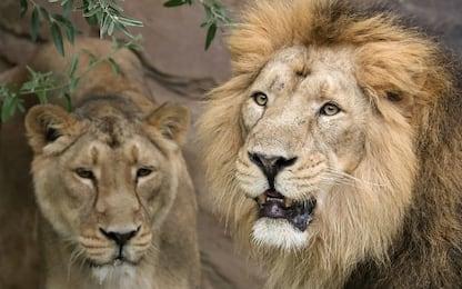 Namibia, i leoni ora cacciano otarie e uccelli marini