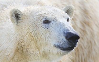 Giornata mondiale dell'orso polare: una specie sempre più a rischio