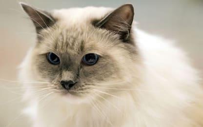 Oggi si celebra la Festa nazionale gatto. FOTO