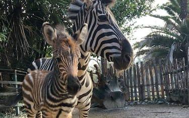 Cucciolo_zebra_Pistoia