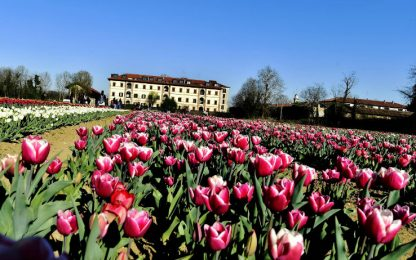 Milano, aperto al pubblico il campo di tulipani di Arese