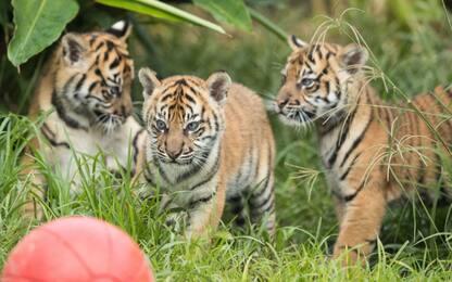 Sydney, tre cuccioli di tigre fanno il loro debutto allo zoo