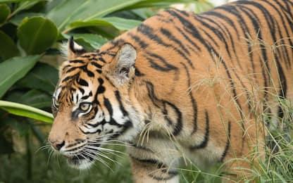 Coronavirus Usa, tigre positiva allo zoo del Bronx a New York
