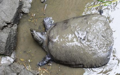 Cina, morta una delle ultime 4 tartarughe Yangtze