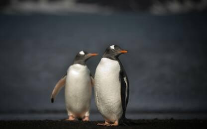 Festa allo zoo di Praga, nasce un nuovo pinguino