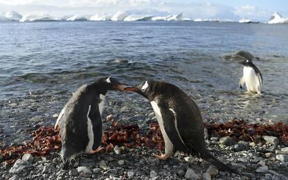 Censimento dei pinguini in Antartide grazie ai droni italiani. VIDEO