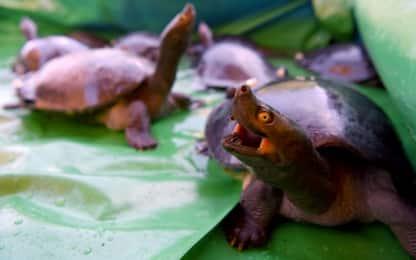Cambogia, venti tartarughe reali liberate nel fiume. FOTO