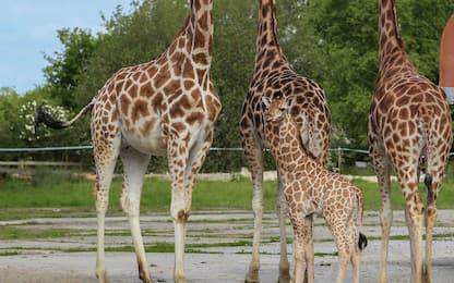 Karamoja, baby giraffa nata nello zoo di Chester