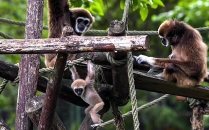 Scimmie, famiglia di gibboni allo zoo in Macedonia. FOTO