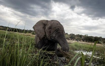 Il Botswana elimina il divieto di caccia agli elefanti
