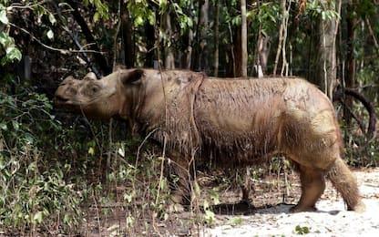 Malesia, morto l'ultimo esemplare di rinoceronte maschio di Sumatra