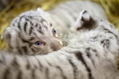 Denuncia di Lav: 10 tigri trasportate da Latina alla Russia, una morta