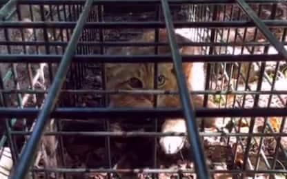 Corsica, identificata una nuova specie di gatto-volpe