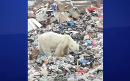 Siberia, orso polare rovista tra i rifiuti in cerca di cibo. VIDEO