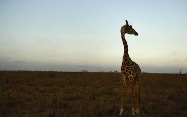 GettyImages-giraffe_desktop_2